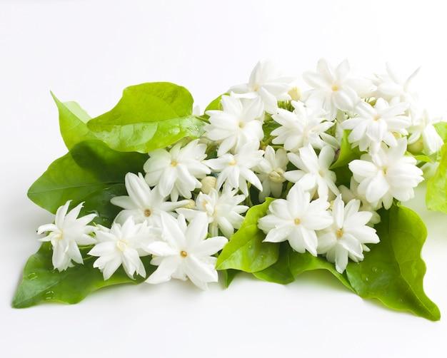 Flores de jasmim isoladas