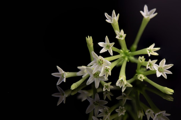 Flores de jasmim ou cestrum nocturnum isoladas em um fundo preto.