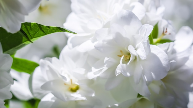 Flores de jasmim terry branco no jardim. fundo floral