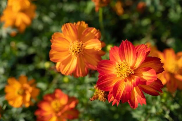 Flores de laranja cosmos no jardim com desfocar o fundo