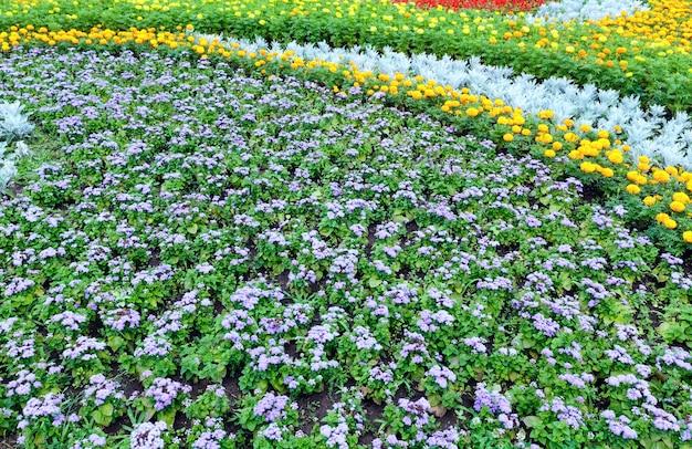 Flores de laranjeira da planta calêndula e flores azuis no canteiro de flores.