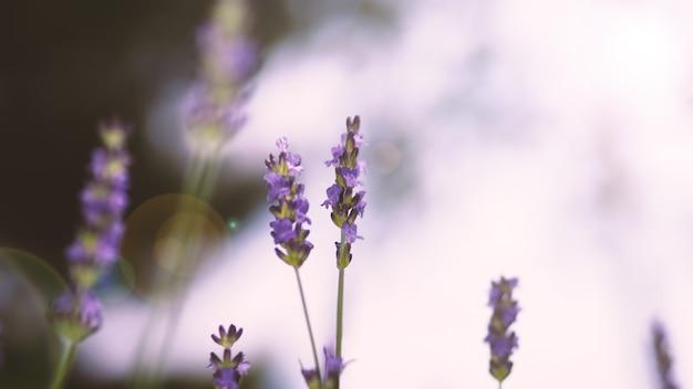 Flores de lavanda cor roxa e reflexo de luz do sol para a câmera, que representam fragrância para relaxin