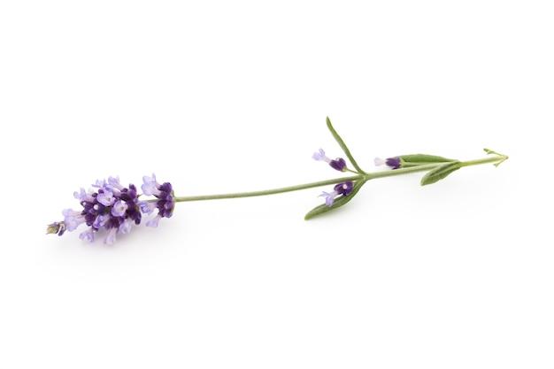 Flores de lavanda em um branco