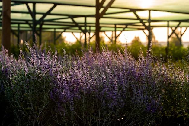 Flores de lavanda em vasos de flores ao pôr do sol no centro do jardim