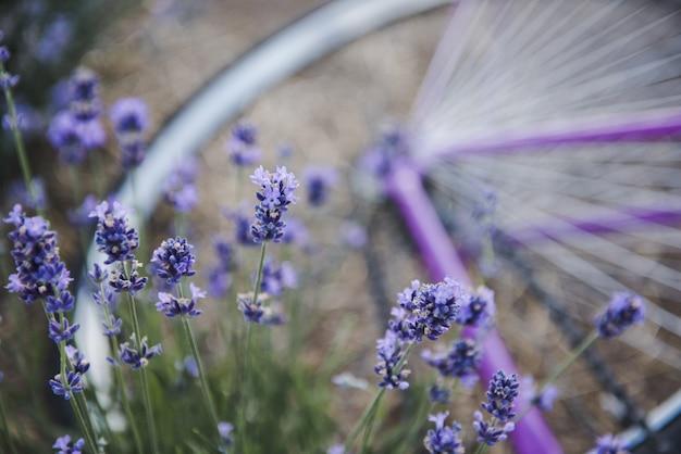 Flores de lavanda. provence, campo de lavanda e bicicleta roxa.