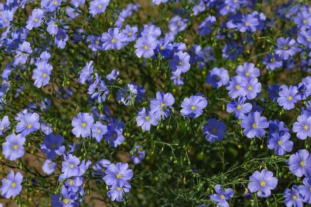 Flores de linho em um canteiro de flores fecham as flores azuis