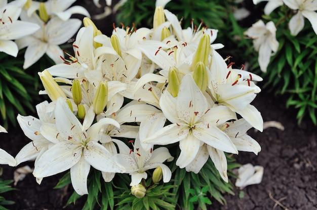 Flores de lírio branco em um jardim