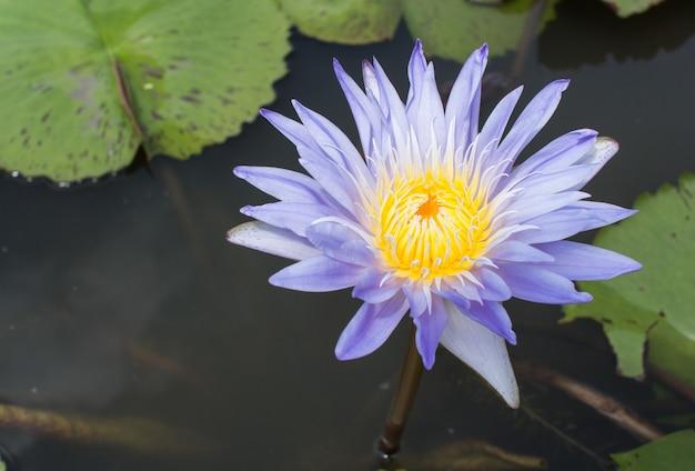Flores de lótus azuis ou roxas ou flores de nenúfar florescendo no lago