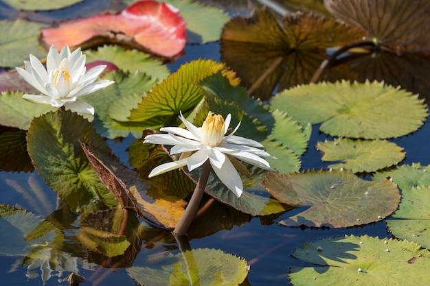 Flores de lótus brancos bonitas ou lírio de água com a folha verde na lagoa.