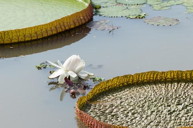 Flores de lótus de nenúfar victoria ou flores de nenúfar florescendo no lago