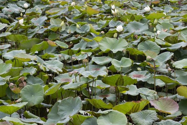 Flores de lótus e lindas folhas de lótus