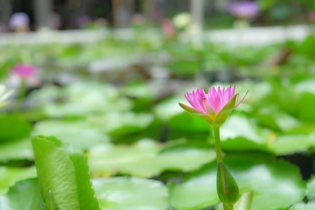 Flores de lótus em lagos naturais