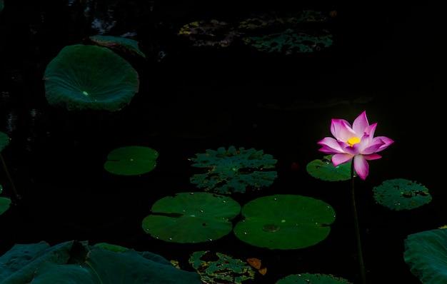Flores de lótus rosa asiáticos na lagoa no fundo darky