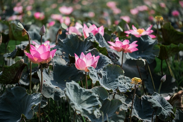 Flores de lótus rosa estão florescendo