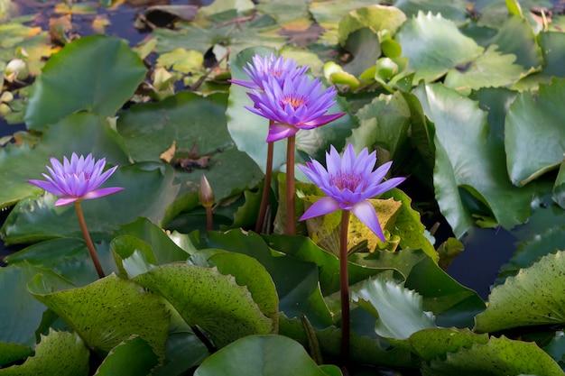 Flores de lótus roxas azuis