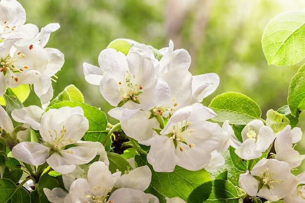 Flores de maçã close-up. primavera com flores.