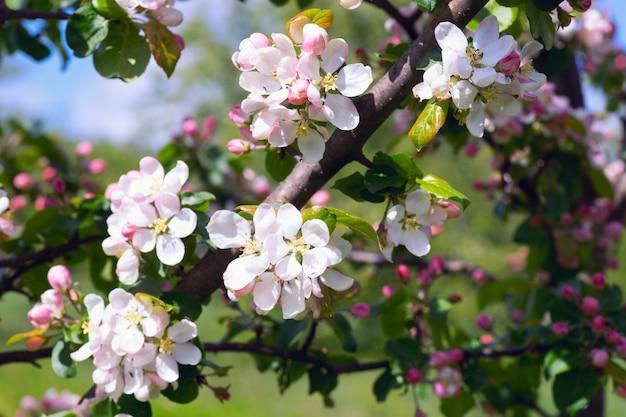 Flores de maçã close-up.