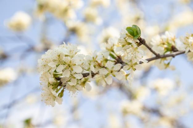 Flores de maçã em luz solar suave sonhadora, panorâmica
