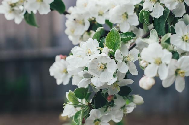 Flores de maçã flor de primavera
