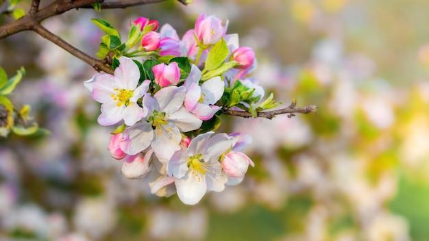 Flores de maçã, flores de maçã em um dia desfocado e ensolarado