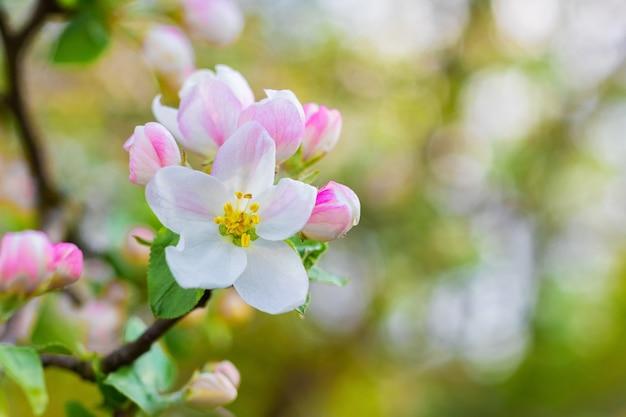 Flores de maçã, flores e botões de maçã em um ambiente desfocado e ensolarado