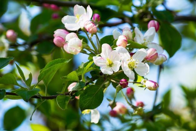 Flores de maçã, foco seletivo
