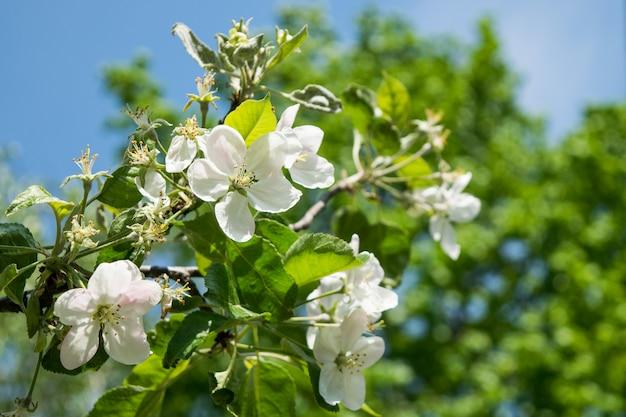 Flores de maçã no ramo de árvore na primavera