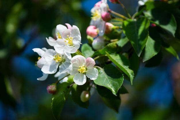 Flores de maçã primavera, foco seletivo