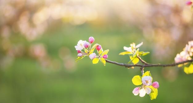 Flores de maçã rosa e branca sob a luz do sol ao ar livre
