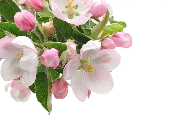 Flores de maçã.