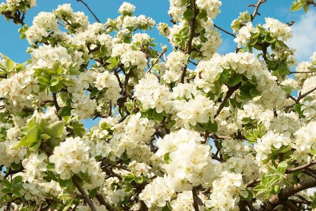 Flores de macieira branca com fundo de céu azul