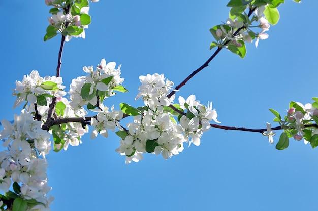 Flores de macieira branca contra o céu azul