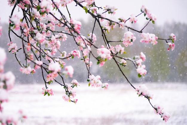 Flores de macieira cobertas de neve durante uma queda de neve inesperada