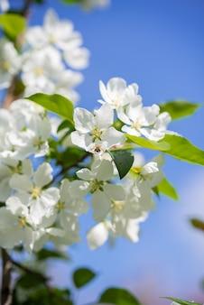 Flores de macieira contra o céu azul abelha em uma pétala de flor de macieira abelha coletando mel