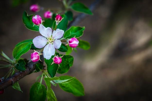 Flores de macieira em um galho na primavera