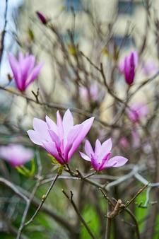 Flores de magnólia desabrochando no parque da cidade