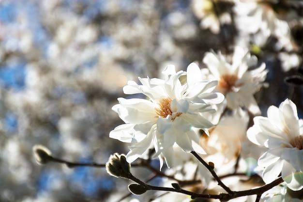 Flores de magnólia em blum