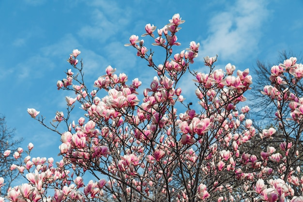 Flores de magnólia em tempo de primavera