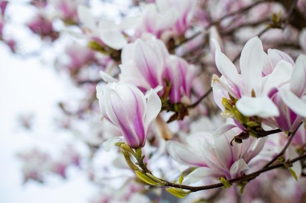 Flores de magnólia na primavera