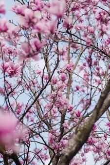 Flores de magnólia rosa linda em uma árvore