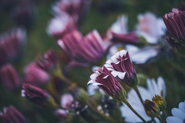 Flores de margarida africana em um jardim