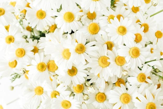 Flores de margarida de camomila em branco.
