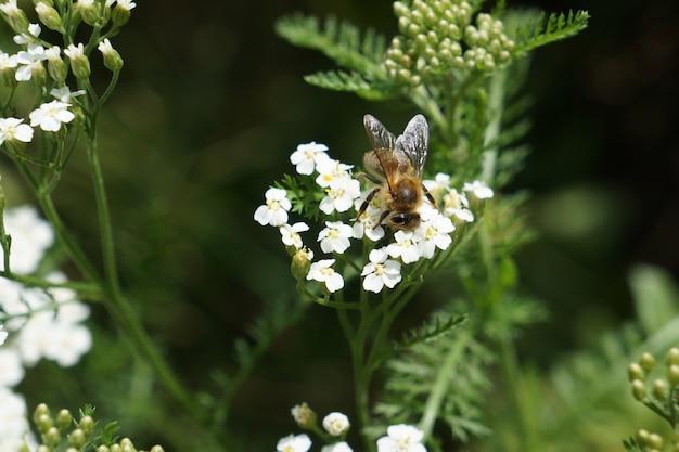 Flores de milho branco com abelha. achillea millefolium