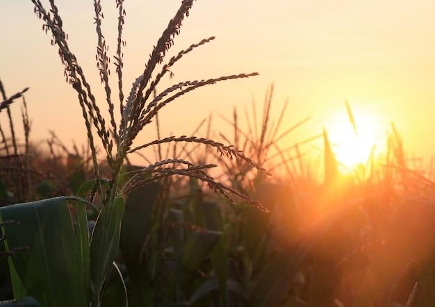 Flores de milho e nascer do sol