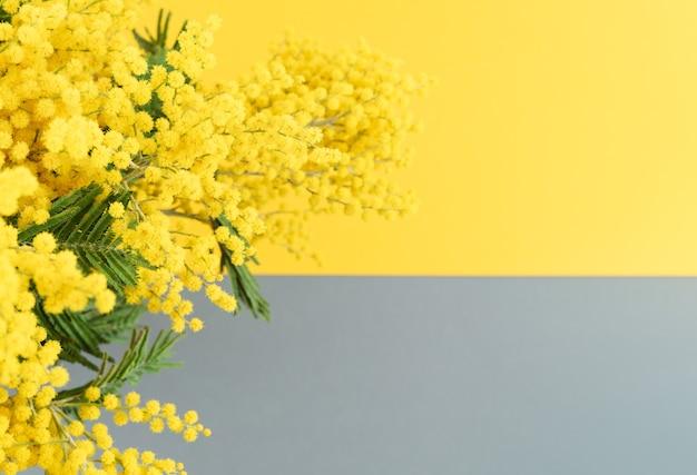 Flores de mimosa amarela em fundo amarelo e cinza horizontalmente. cor do ano. copie o espaço.