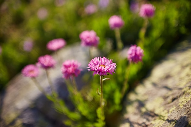 Flores de montanha raras e plantas que crescem na encosta das montanhas do cáucaso, amanhecer ensolarado. pequenas lindas flores silvestres crescem entre as pedras no sol da tarde. vegetação selvagem das montanhas do cáucaso