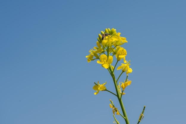 Flores de mostarda florescendo na planta no campo agrícola com vagens. fechar-se.