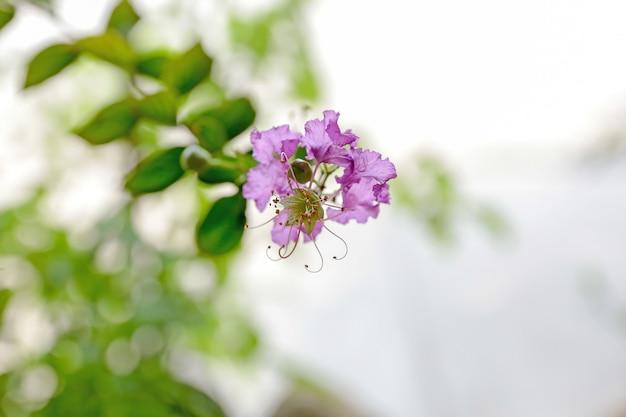 Flores de murta crepe