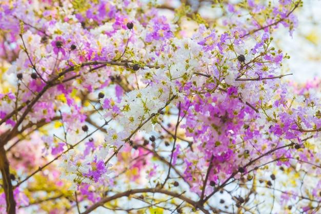 Flores de murta de crape desabrochando lindamente