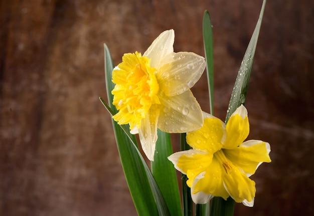 Flores de narciso amarelo